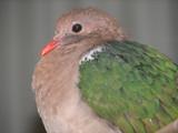 emerald pigeon poster