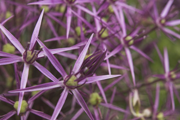 allium flower