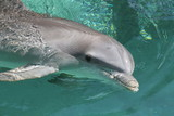 dolphin,mammal,sea mammal,animal,water,ocean,islan poster