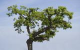 lonely cork oak tree poster