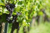 vineyard - 1210556