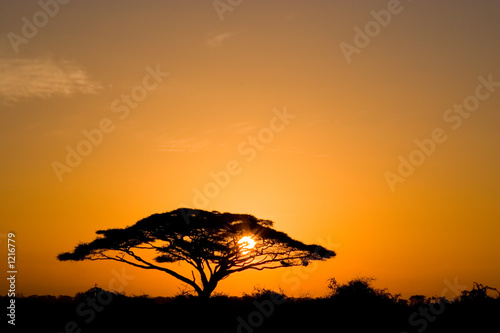 acacia tree at sunrise