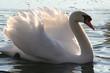 wunderschöner schwan im sonnenuntergang