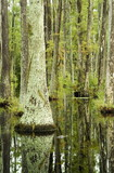 cypress trees and alligator poster