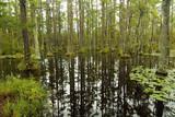 blackwater swamp cypress trees reflected poster
