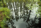 cypress trees reflected in blackwater swamp poster