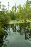 trees reflected in calm blackwater swamp poster