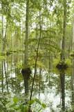 cypress trees in blackwater swamp poster
