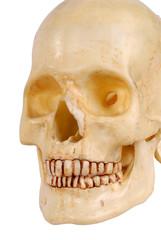 plastic skull left side