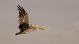 brown pelican in flight 1 poster