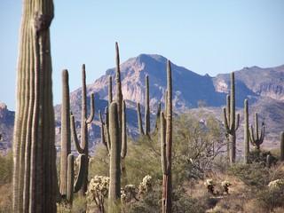 saguaro stand