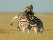 Quadro fighting zebras