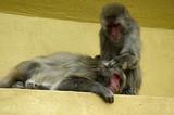monkey picking flees poster