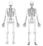 human skeleton front and back poster