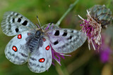 parnassius  apollo (grand apollon)