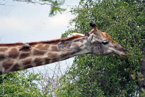 Poster girafe en afrique du sud