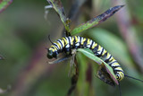 monarch caterpillar poster