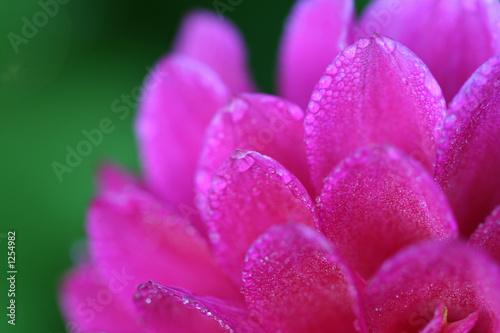 dewy petals - 1254982