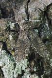 tobacco hornworn moth poster