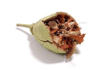 broken baobab seed
