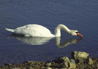 mute swan i