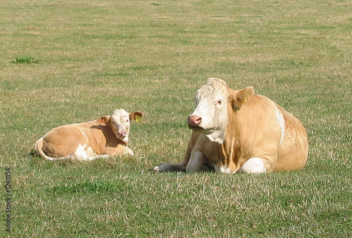 Simmental+cow+and+calf