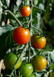 3 tomatoes