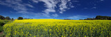 canola panoramic poster