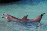 dolphin show off poster