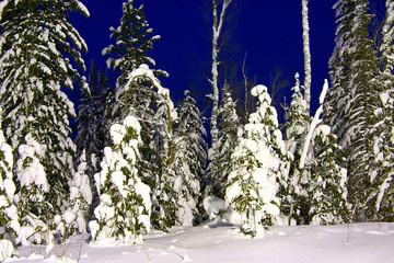 fir-trees 3