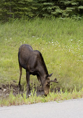 cow moose drinking near the icefield parkway