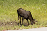 thirsty moose near the icefield parkway poster