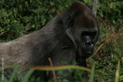 female gorilla 2