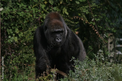 female gorilla 1