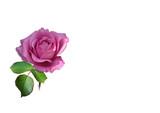 eine rose in naturfarbe pink bzw. lila poster