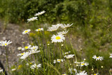 wildflower meadow of marguerites poster