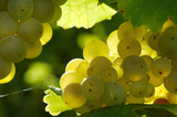 bunch of white grapes poster
