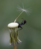 ant on dandelion poster