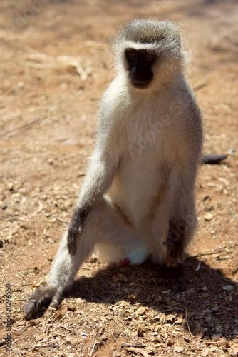 Poster velvet monkey