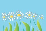 flowers. camomile