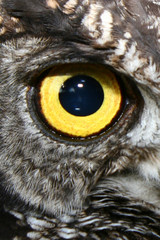 yellow owl eye