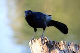 black bird on a tree stump poster