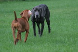two dogs intense point hunt sport puppy, weim vizs poster