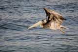 brown pelican in flight 2 poster