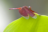 tropical rainforest dragonfly poster