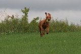 brown puppy dog running with ears up in air poster
