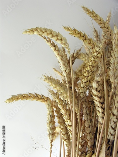 wheal corn