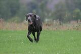 dog running on green grass poster
