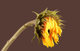 dying sunflower isolated poster