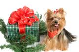 christmas yorkshire terrier poster